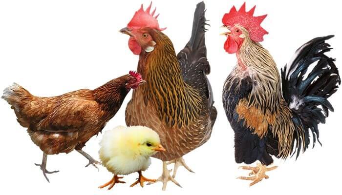 Tomodachi Naturprodukte für Hühner und anderes Geflügel - artgerechtes, beliebtes Hühnerfutter und leckere Snacks