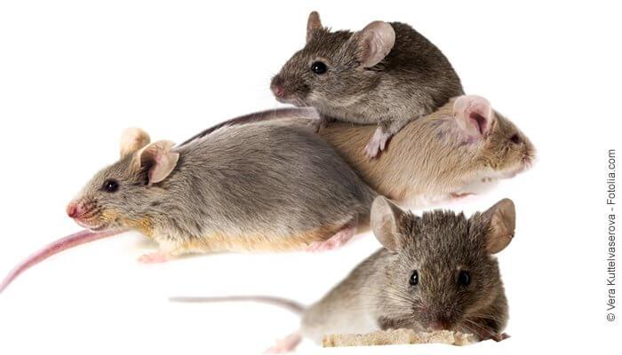 Mäusefutter und beliebte Nagersnacks - Naturprodukte von Tomodachi für alle Mäuse
