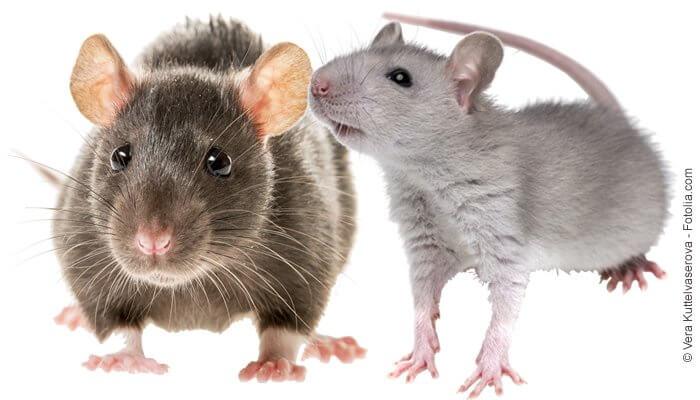 Naturprodukte für Ratten - Rattenfutter und Rattensnacks von Tomodachi