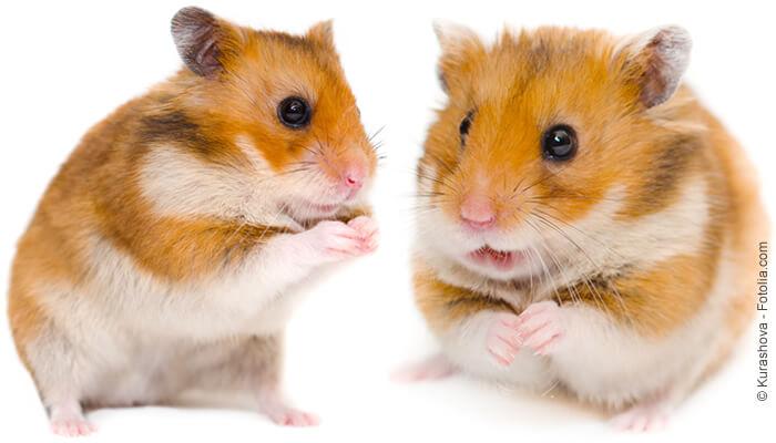Hamsterfutter von Tomodachi mit tierischen Eiweißen - weil Hamster keine reinen Vegetarier sind